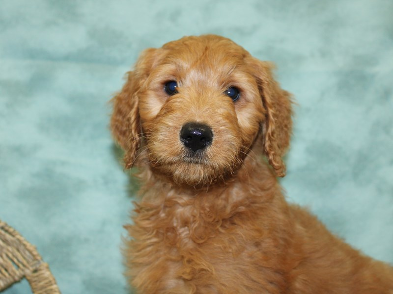 Goldendoodle-DOG-Female-Red-2571140-Petland Dalton