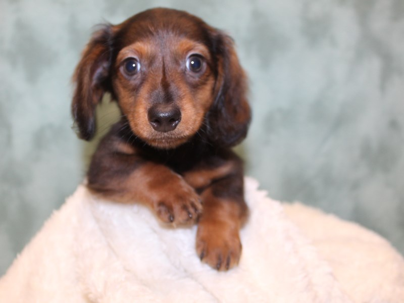 Dachshund-DOG-Male-RED-2571281-Petland Dalton