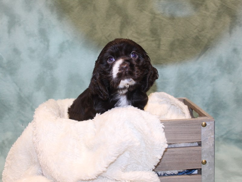 Cocker Spaniel-DOG-Female-CHOC WHITE-2571297-Petland Dalton