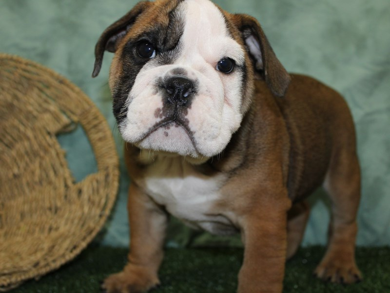 Bulldog-DOG-Male-Sable / White-2578838-Petland Dalton