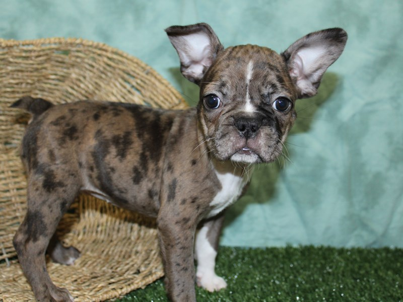 Frenchton-Female-BLUE MERLE-2576970-Petland Dalton
