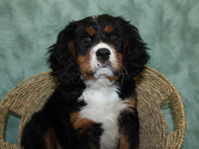 Mini Bernese-DOG-Male-Tri-2577021-Petland Dalton