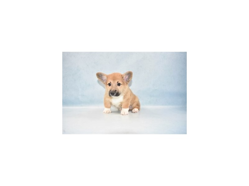 Pembroke Welsh Corgi-Male-Red-2581080-Petland Dalton