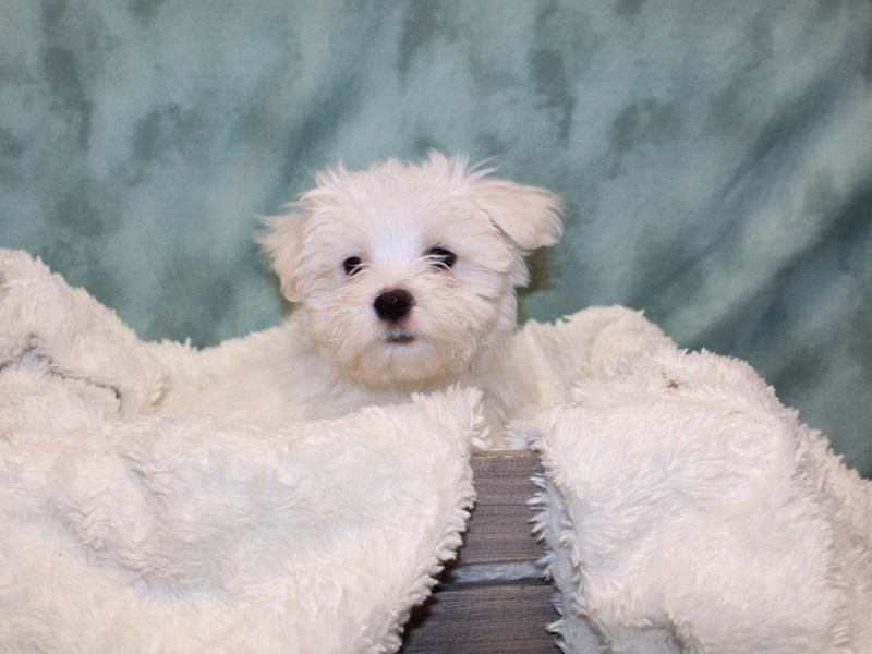 Maltese-Male-White-2580918-Petland Dalton