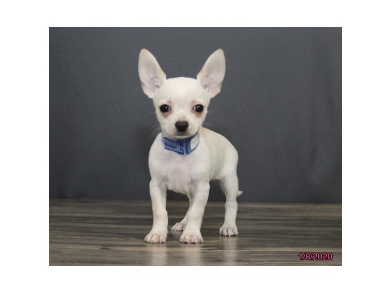Chihuahua-Male-Cream / White-2586966-Petland Dalton