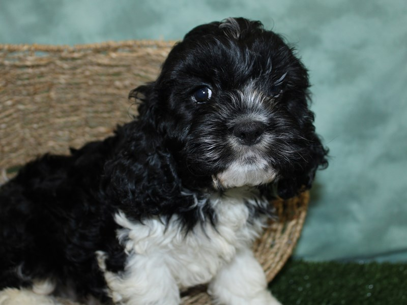 Cocker Spaniel-DOG-Male-BLACK WHITE-2582271-Petland Dalton