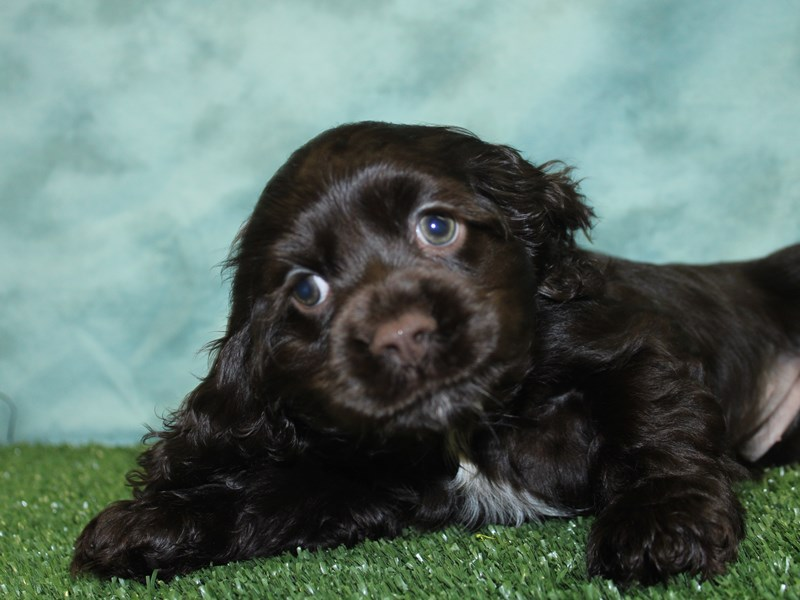 Cocker Spaniel-Female-CHOC WHITE-2588175-Petland Dalton