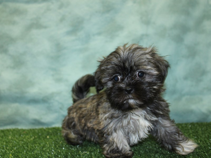 Teddy Bear-Female-BRINDLE WHITE-2588066-Petland Dalton