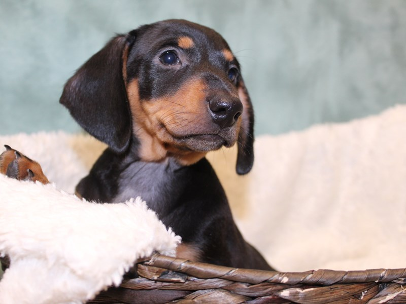 Dachshund-DOG-Male-BLK TAN-2595730-Petland Dalton