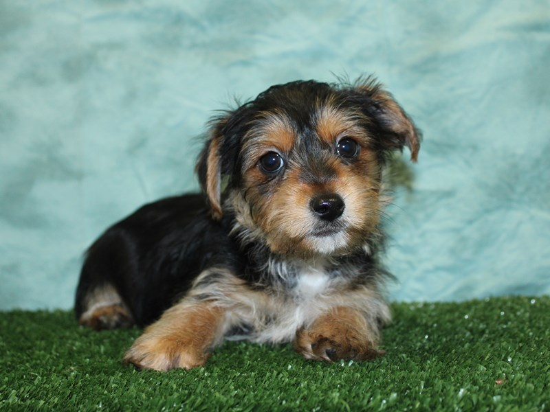 Yochon-DOG-Male-BLK TAN-2595650-Petland Dalton