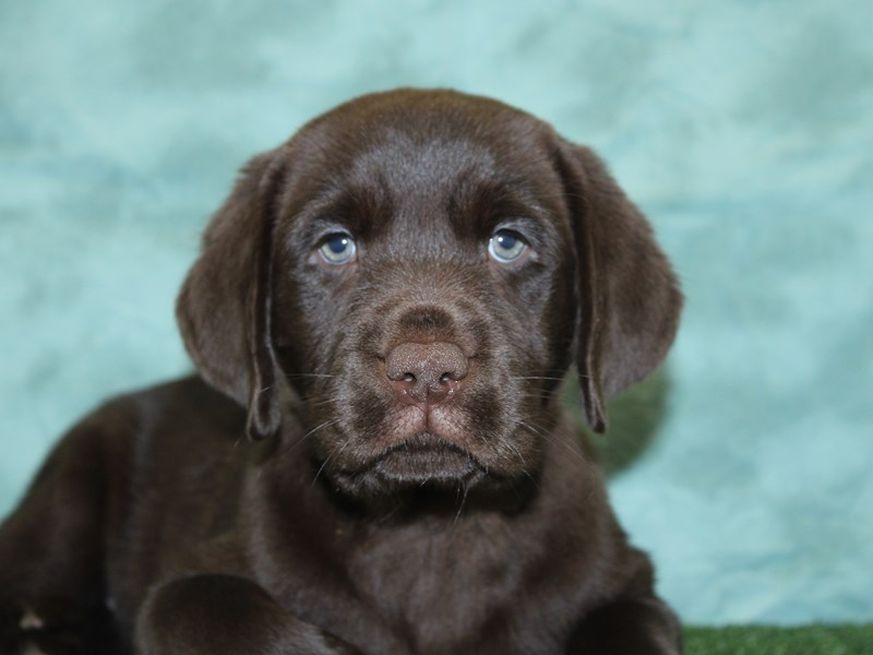 Labrador Retriever-Male-Chocolate-2595681-Petland Dalton