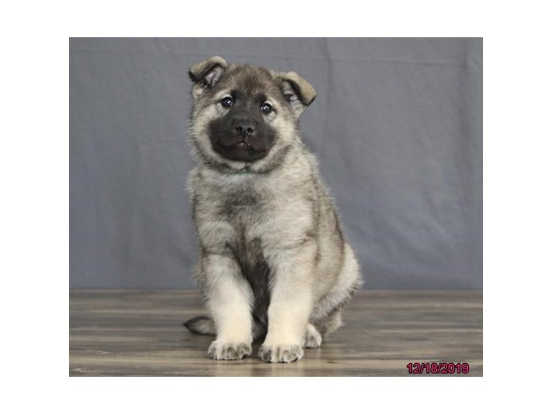 Norwegian Elkhound-Male-Gray Black / Silver-2567830-Petland Dalton