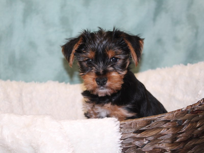 Yorkshire Terrier-DOG-Female-BLK TAN-2566549-Petland Dalton