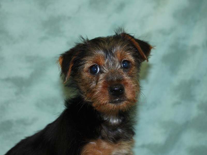 Yorkshire Terrier-Female-BLK TAN-2571337-Petland Dalton