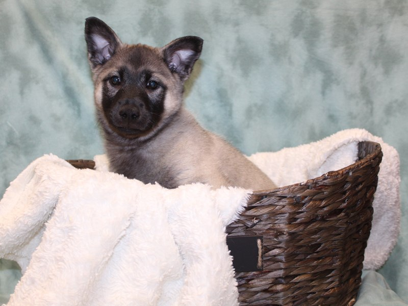 Norwegian Elkhound-DOG-Male-Gray Black / Silver-2572749-Petland Dalton
