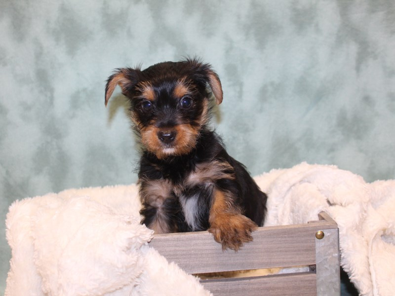 Yorkshire Terrier-Male-BLK TAN-2571118-Petland Dalton