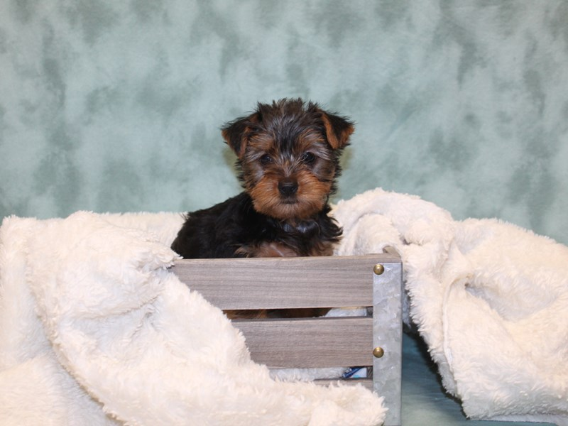Yorkshire Terrier-Female-BLK TAN-2571120-Petland Dalton