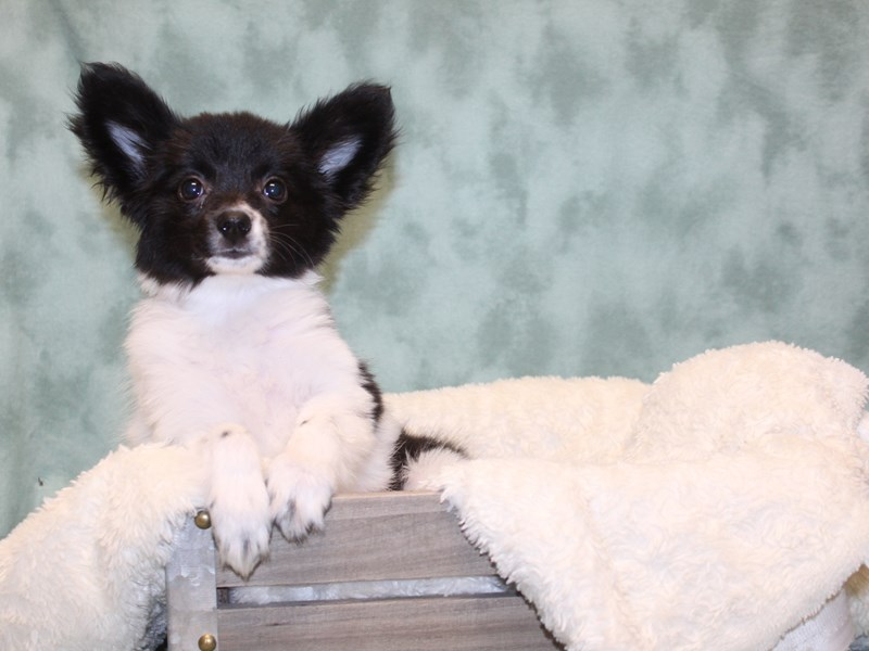 Papillon-Female-Black / White-2578837-Petland Dalton