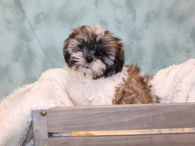 Shih Tzu-Male-Chocolate / White-2578833-Petland Dalton