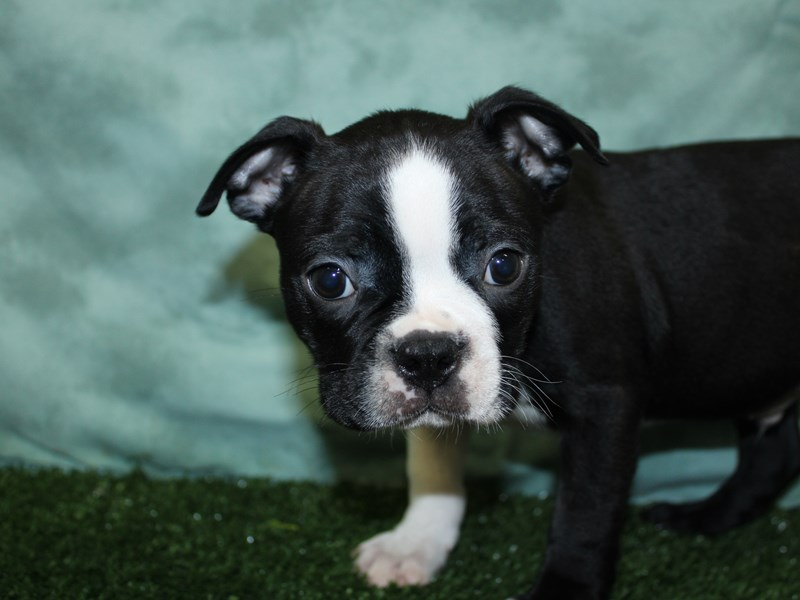 Boston Terrier-Male-BLK WHT-2581893-Petland Dalton