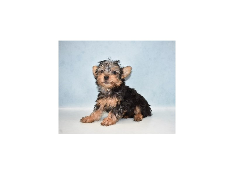 Silky Terrier-DOG-Male-Black and Tan-2589825-Petland Dalton