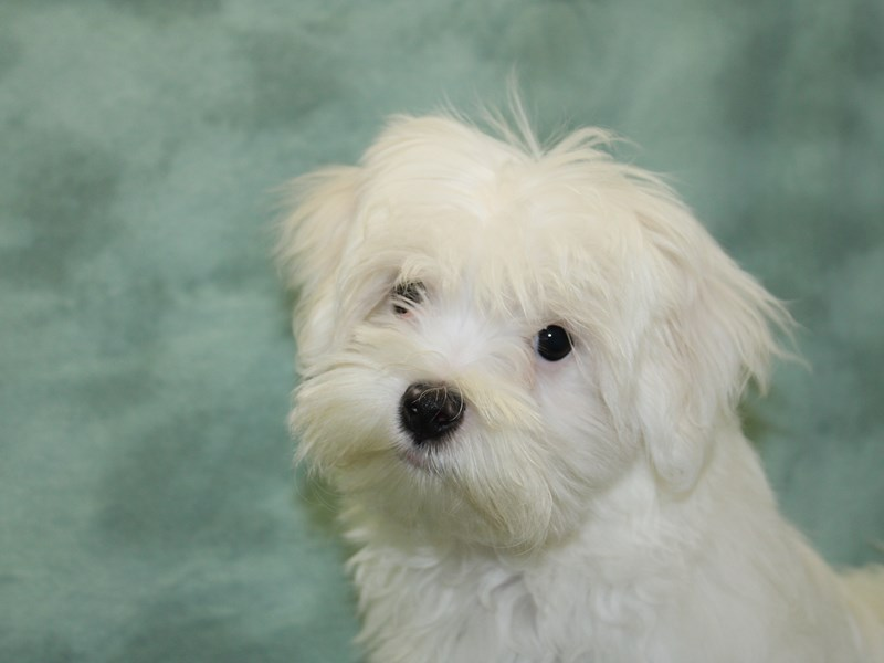 Maltese-DOG-Male-White-2559772-Petland Dalton