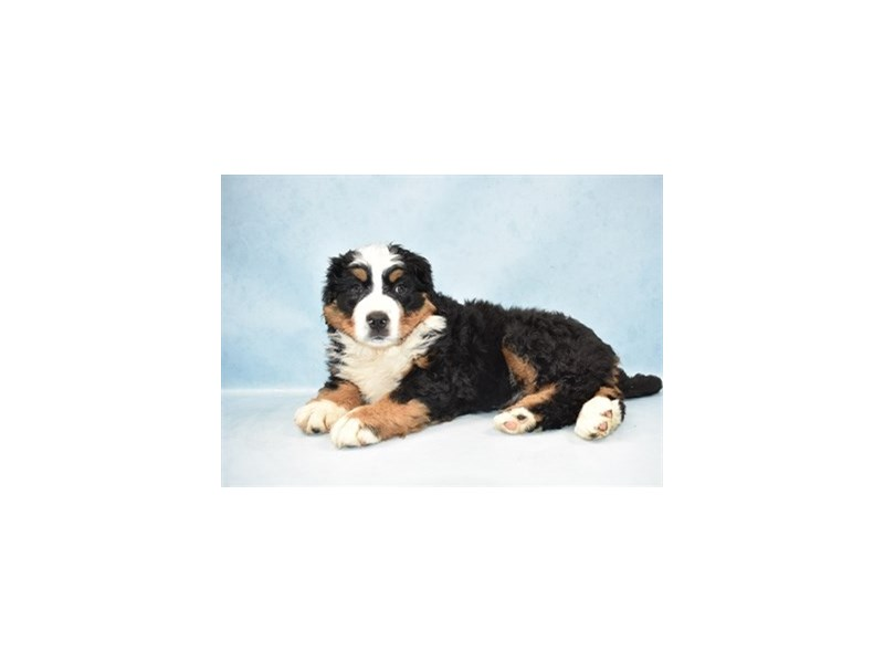 Bernese Mountain Dog-DOG-Female-Black Rust and White-2597387-Petland Dalton