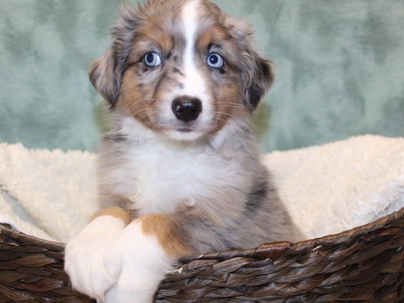 Miniature American Shepherd-DOG-Male-BLUE MERLE-2595893-Petland Dalton