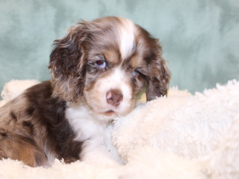 Cocker Spaniel-DOG-Male-MERLE-2588170-Petland Dalton