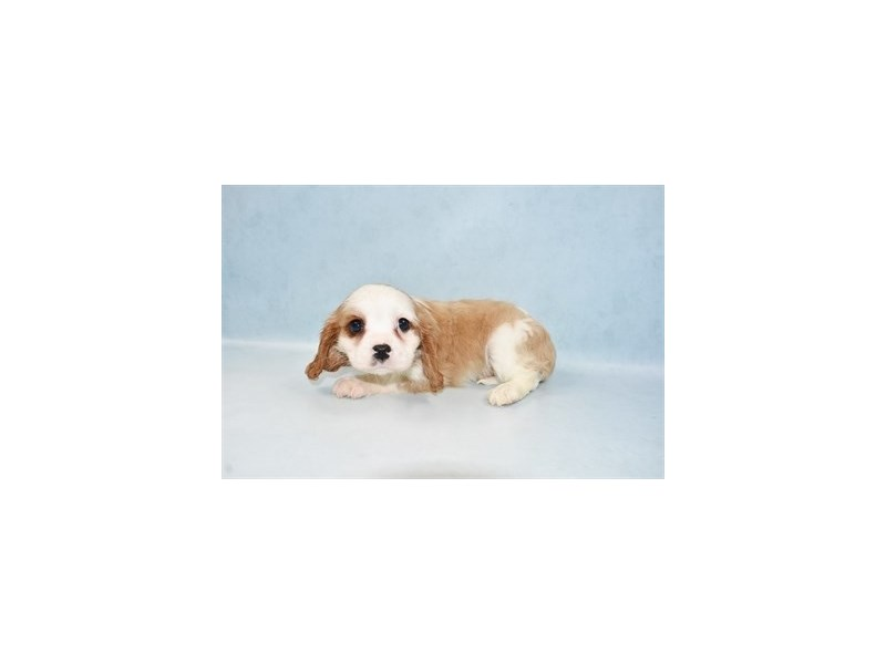 Cavalier King Charles Spaniel-DOG-Female-Blenheim-2604927-Petland Dalton