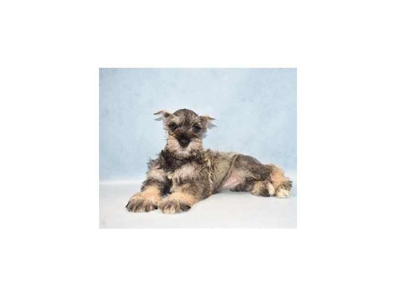 Miniature Schnauzer-Female-Salt and Pepper-2604954-Petland Dalton