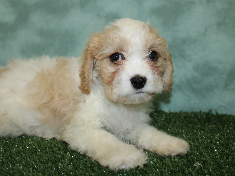 Cavapoo-Male-Tan and White-2603432-Petland Dalton