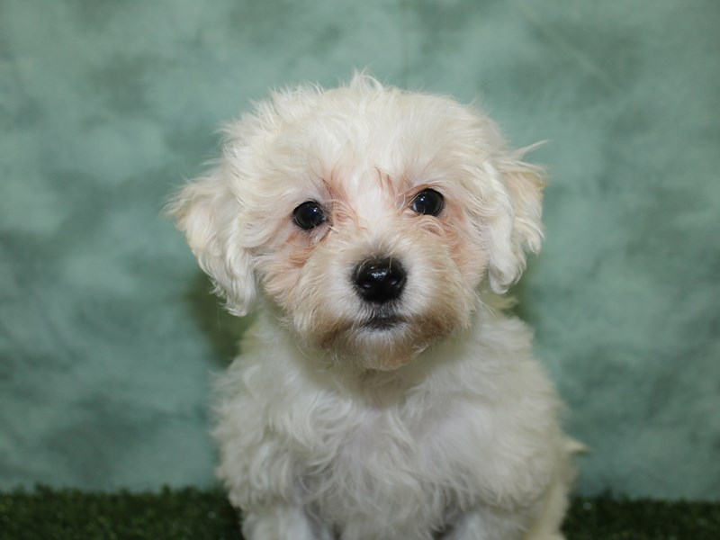 Havachon-Male-CREAM WHITE-2603635-Petland Dalton