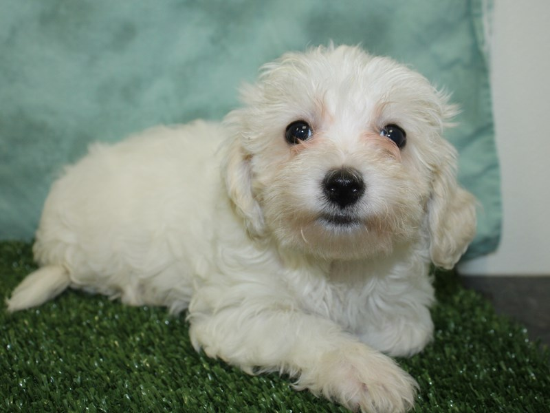 Havachon-Female-CREAM WHITE-2603637-Petland Dalton