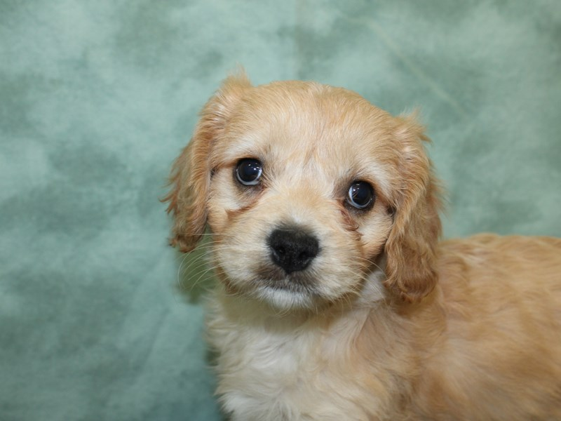 Cavachon-DOG-Female-BLENHEIM-2603507-Petland Dalton