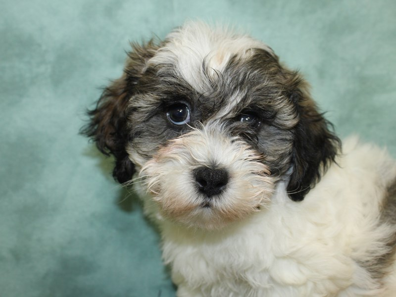 Teddy Bear-DOG-Male-brown white-2603670-Petland Dalton