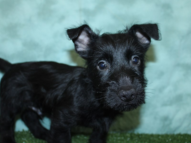 Scottish Terrier-Male-BLACK-2603531-Petland Dalton