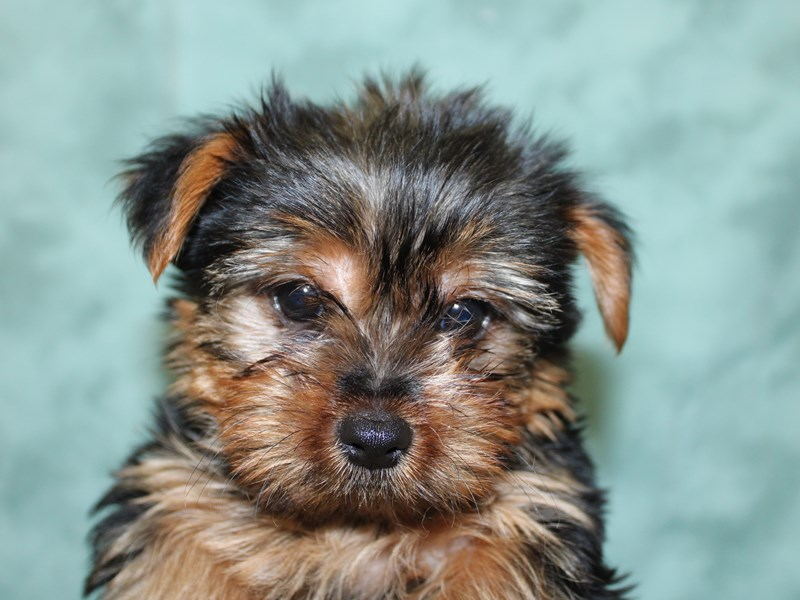 Yorkshire Terrier-Male-Black and Tan-2604946-Petland Dalton