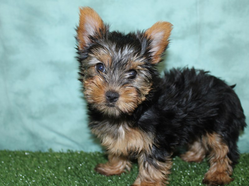 Yorkshire Terrier-Female-Black and Tan-2604937-Petland Dalton
