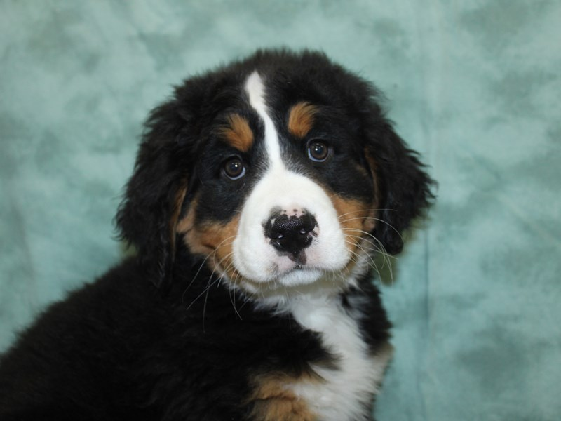 Bernese Mountain Dog-Female-Black Rust and White-2597385-Petland Dalton