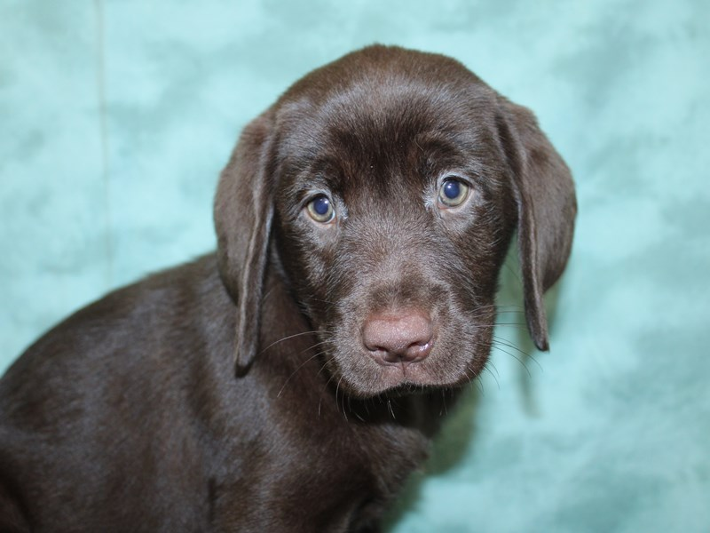 Labrador Retriever-Female-Chocolate-2603347-Petland Dalton