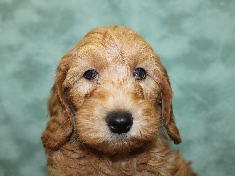 F2 MINI GOLDENDOODLE-DOG-Male-Red-2603587-Petland Dalton