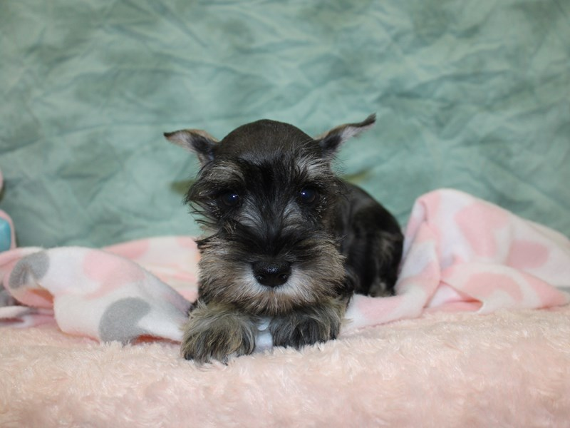 Miniature Schnauzer-Male-Salt / Pepper-2608976-Petland Dalton