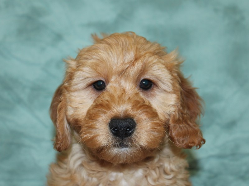 Goldendoodle Mini-DOG-Female-Golden-2608974-Petland Dalton