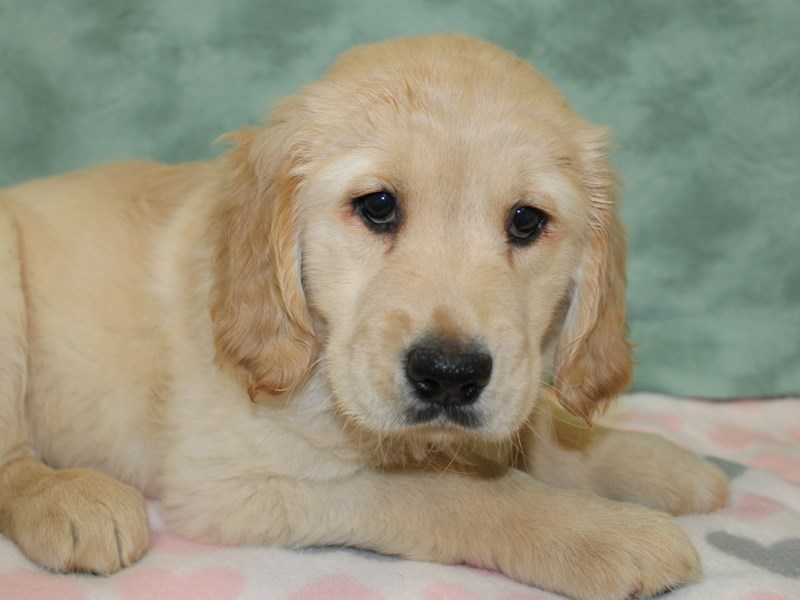 Golden Retriever-DOG-Female-Golden-2610635-Petland Dalton