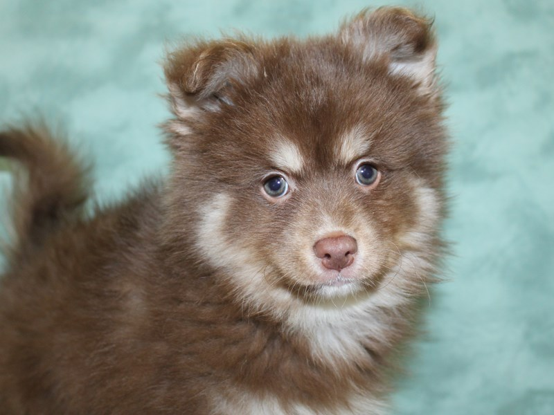 Pomsky-Male-RED WHITE-2611046-Petland Dalton