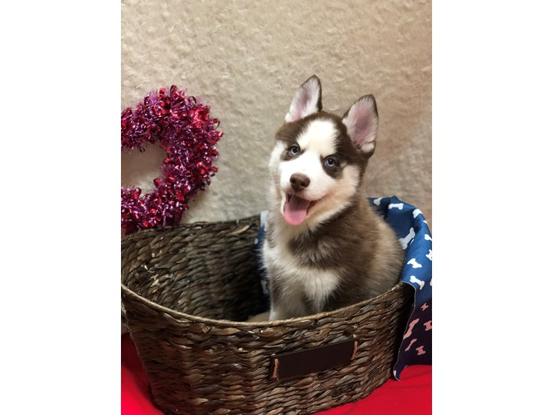 Pomsky-Female-RED WHITE-2611048-Petland Dalton