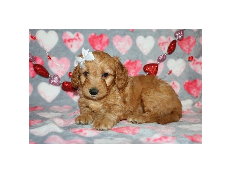 Goldendoodle Mini-Female-Golden-2617289-Petland Dalton