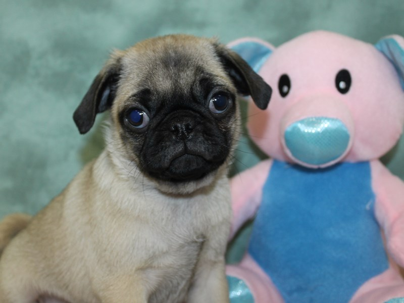 Pug-DOG-Male-FAWN-2618249-Petland Dalton