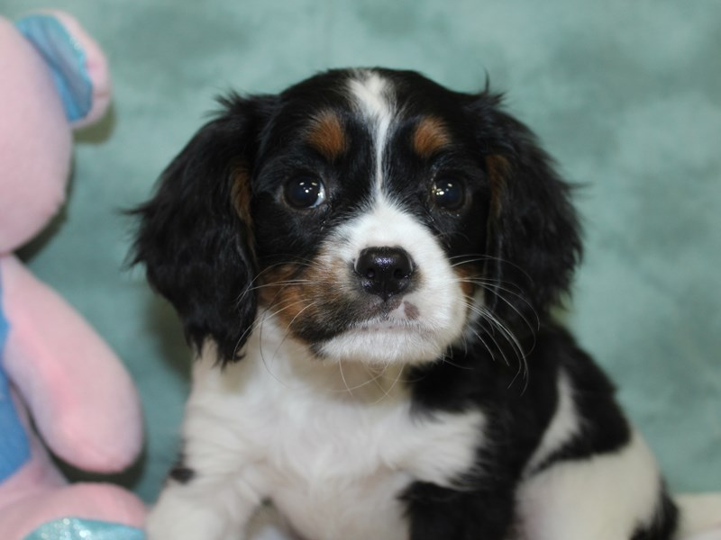 Mini Bernese-Female-Tri Color-2618053-Petland Dalton